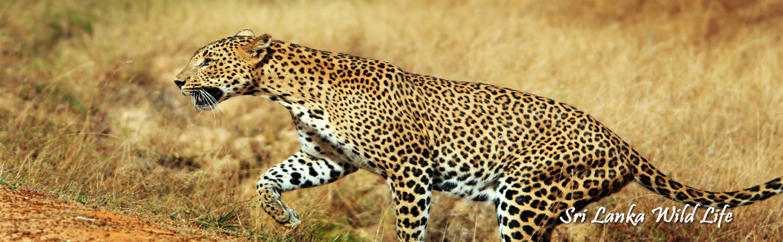 - Sri Lanka Wild Life -