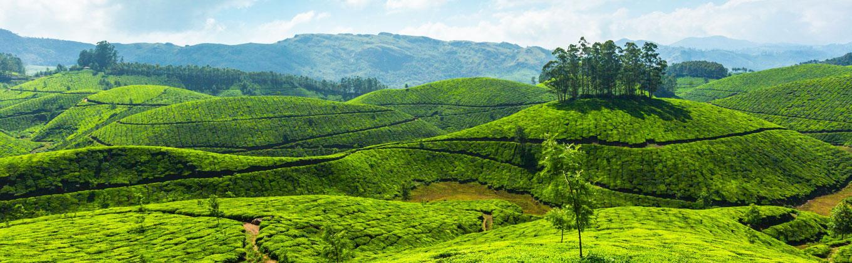 Tea Plantation - Sri Lanka
